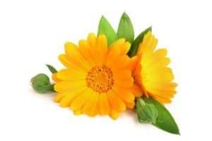 Calendula. Marigold flower with leaf
