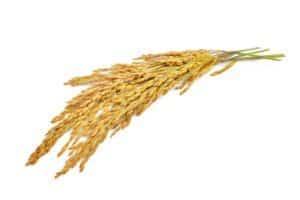 yellow paddy rice